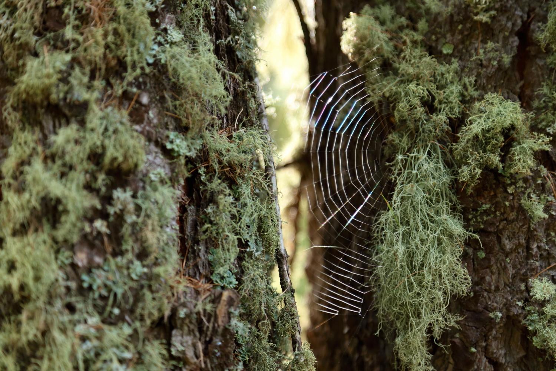 ragnatela nel Bosco delle Navette sulla corteccia di un larice