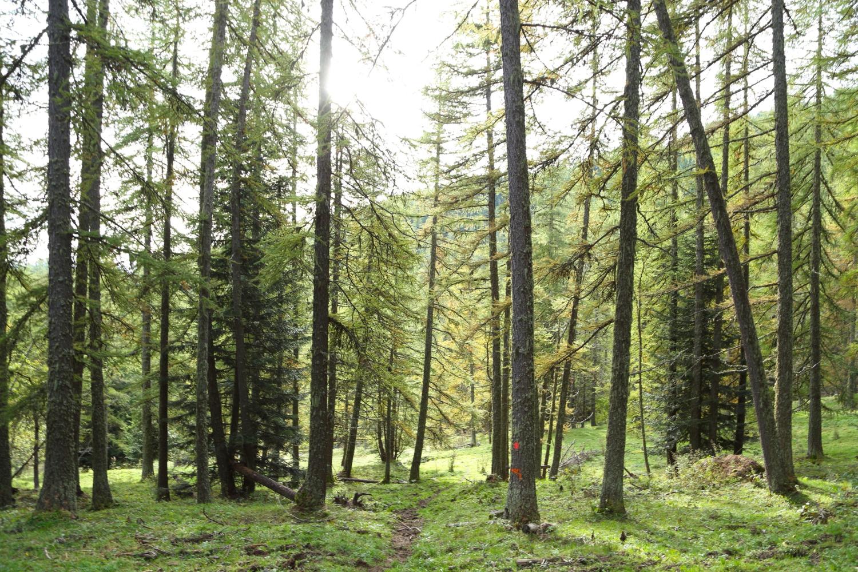 abeti rossi e larici nel Bosco delle Navette, fonte di alberi maestri per la Serenissima Repubblica di Genova