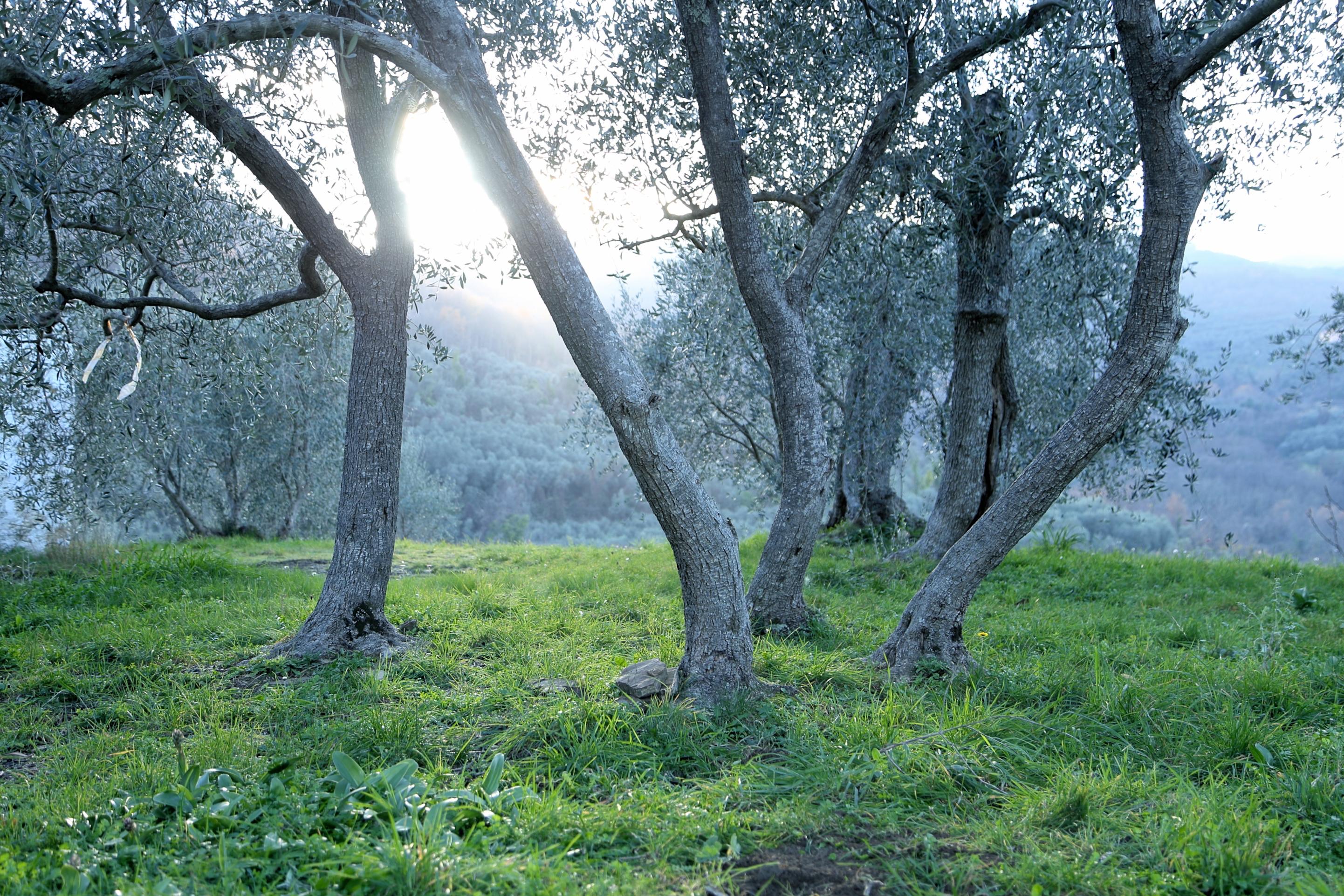 oliveto nella Valle del Maro #valleimpero sopra Maro Castello